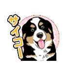 わんこ日和 バーニーズマウンテンドッグ(個別スタンプ:03)