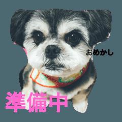 ポメシーMIX犬
