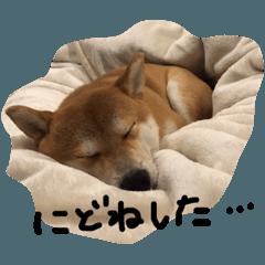 いちのすけ(柴犬スタンプ)