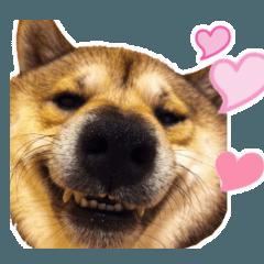 おもしろ顔の柴犬フォトスタンプ