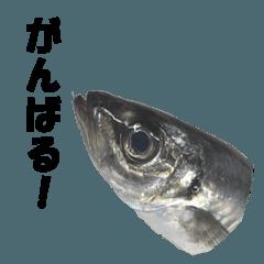 魚のスランプ(実写)