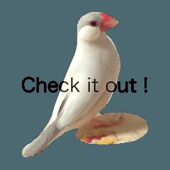 わが家の文鳥たち