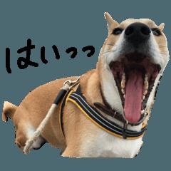 shiba dog sun chan 3
