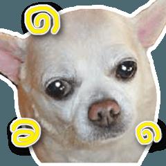 小さい犬チワワが可愛く 挨拶