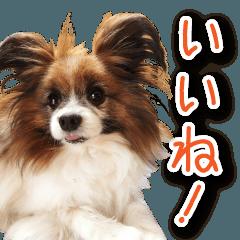 りゅう(パピヨン)