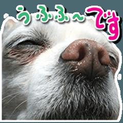 小さい犬チワワが可愛く 挨拶 2