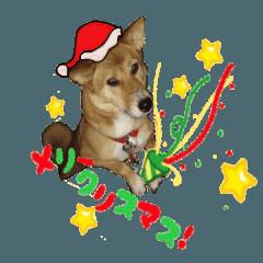 かわいい柴系雑種犬「茶々」のクリスマス
