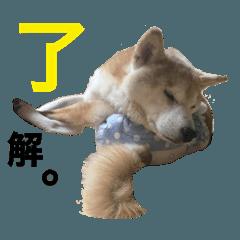 18歳のおばあちゃん柴犬なな vol.2