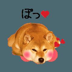 【柴犬ゆづ】の動くスタンプ!!