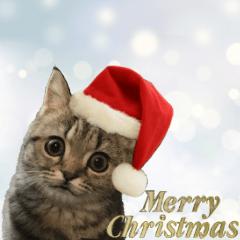 ミヌエットのショコラ子猫写真3冬Xmas正月