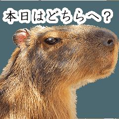 カピバラのかぴちゃん4 (執事バージョン)
