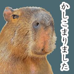 カピバラのかぴちゃん5 (執事バージョン)