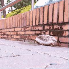 Weary Hedgehog