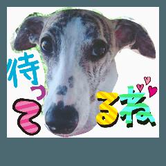 かわいいウィペット②毎日使えるデカ文字♪